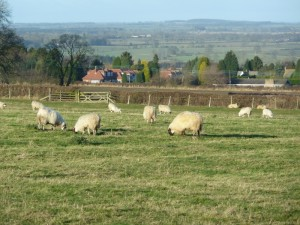 Sheep grazing (800x600)